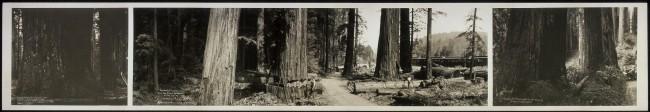 cortando-sequoias